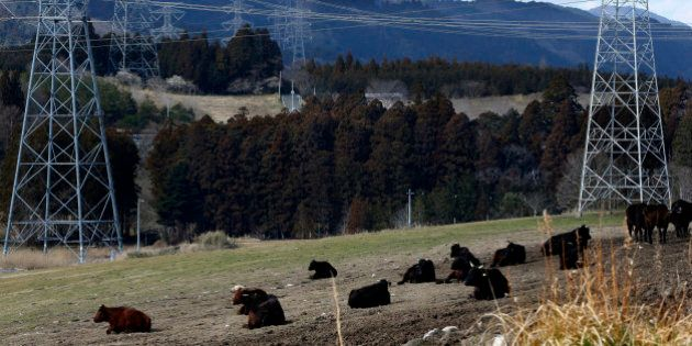 In this Tuesday, Feb. 23, 2016 photo, electric pylons stand near cattle resting at the Ranch of Hope,...