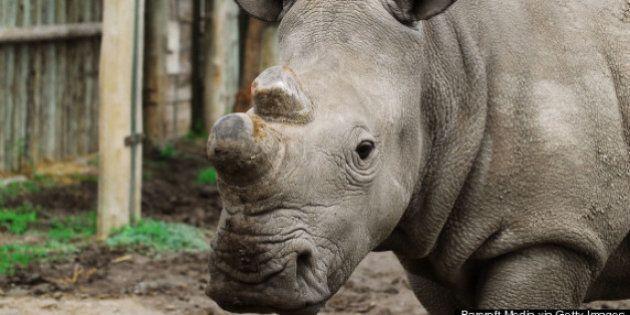 Extinción del rinoceronte blanco: solo quedan seis en el