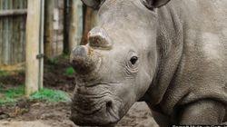 Solo quedan seis rinocerontes blancos vivos en el