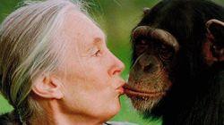 Jane Goodall, ¿copiando de