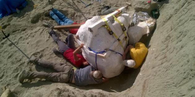 Encuentran en EEUU un cráneo de un Tiranosaurio rex de 1,20 metros y más de 1.100
