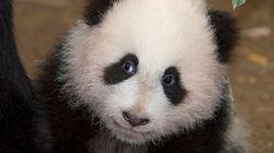 Sí, en serio: los panda vivían en Cataluña y Aragón