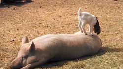 Probablemente, el cerdo con más paciencia del mundo