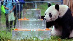 Muere Pan Pan, el oso panda más viejo del