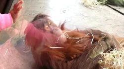 Este bebé orangután tiene un don para el
