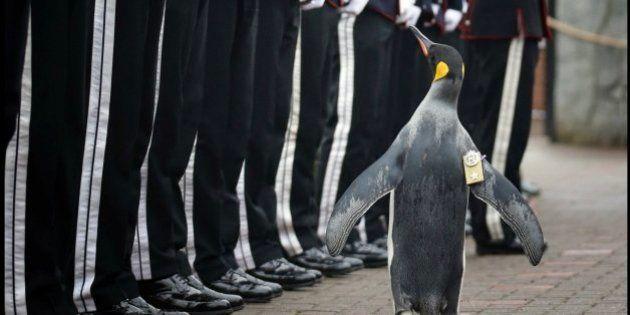 Nils Olav, el pingüino que pasa revista a la Guardia Real
