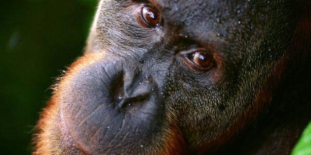 Crisis de mediana edad en animales: oranguntanes y chimpancés también la