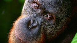 Los grandes simios también tienen la crisis de la mediana