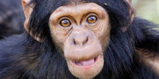 Los chimpancés son violentos por naturaleza, no por influencia