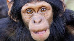 Los chimpancés no son violentos por nuestra