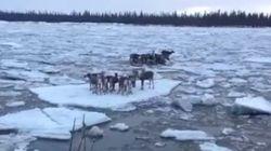 Renos a la deriva en el hielo