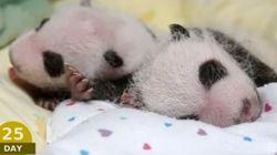 Los 100 primeros días de dos panda gemelos: lo más tierno que verás hoy