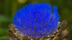 Las alcachofas son flores y estas (preciosas) imágenes te lo