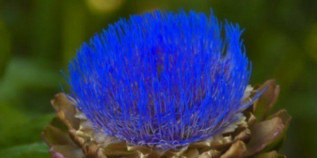 Las alcachofas son flores y estas imágenes te lo