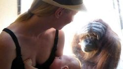 Una orangután se queda embobada ante una madre dando el