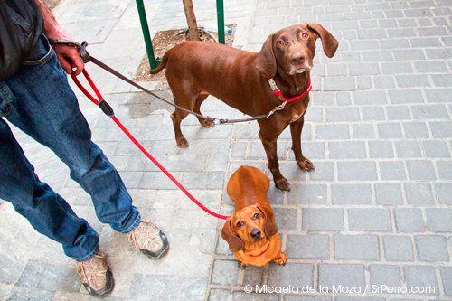 En el mundo canino el tamaño sí