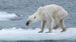 Un osa famélica del Artico, nuevo icono viral del cambio