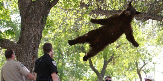 Oso rescatado de un árbol en Colorado