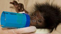 Cosas que aprender de los bonobos: paz y alto nivel de actividad