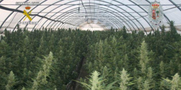 Incautadas 14.000 plantas de marihuana, la mayor intervención en