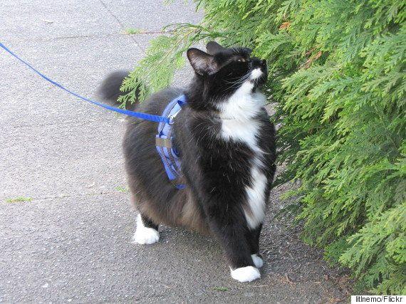 Cómo pasear con correa a tu gato y además pasar un buen