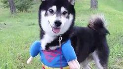 Súper Husky te va a alegrar el