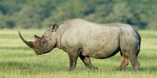 Rinocerontes en estado salvaje, en peligro de extinción por la caza