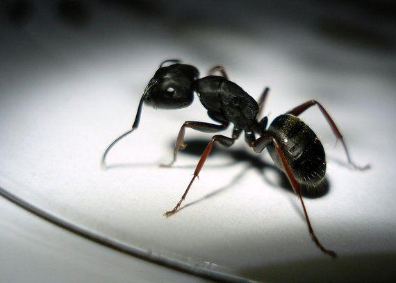 Hormigas contra la