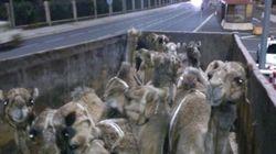En estas condiciones trasladan a los dromedarios para cabalgatas en