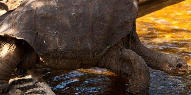 'Solitario George', la última tortuga de su especie, muere en