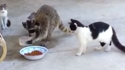 La genial huida de un mapache tras robar a tres gatos