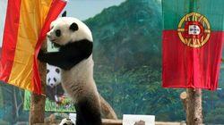 El oso Ping apuesta por España y