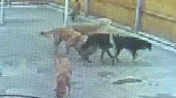 Intoxicados por ingerir heroína los perros de una guardería de