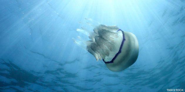 La FAO recomienda comer medusas para contrarrestar su