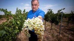 Salvando el vino en peligro de