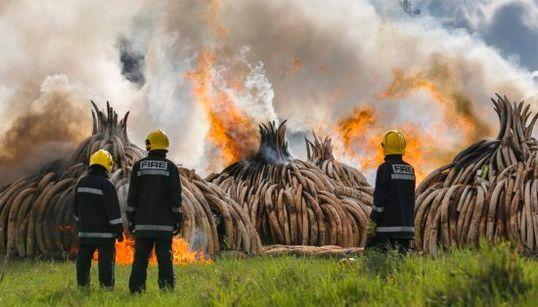 El marfil de 6.700 elefantes asesinados, quemado en Kenia