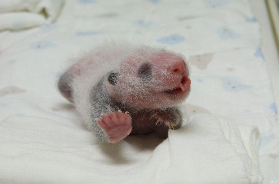 Bebés de oso panda gigante que no podemos dejar de