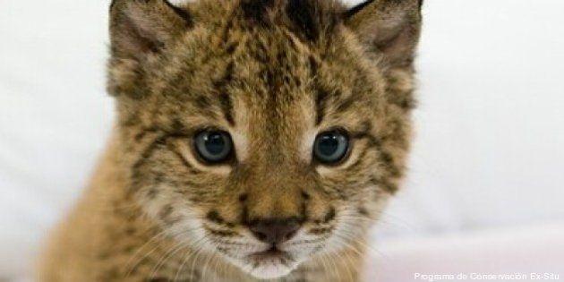 Lince ibérico: la evolución del programa de conservación del felino más amenazado