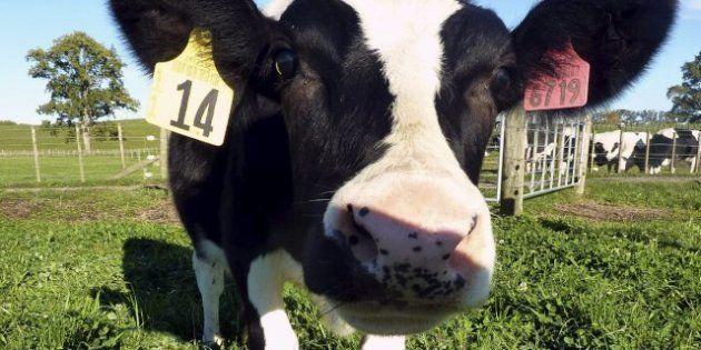Científicos neozelandeses crean una vaca que produce leche a prueba de