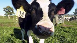 'Daisy', la vaca que da leche a prueba de