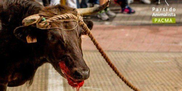 Pacma denuncia la humillación de un toro antes de ser enviado al matadero en