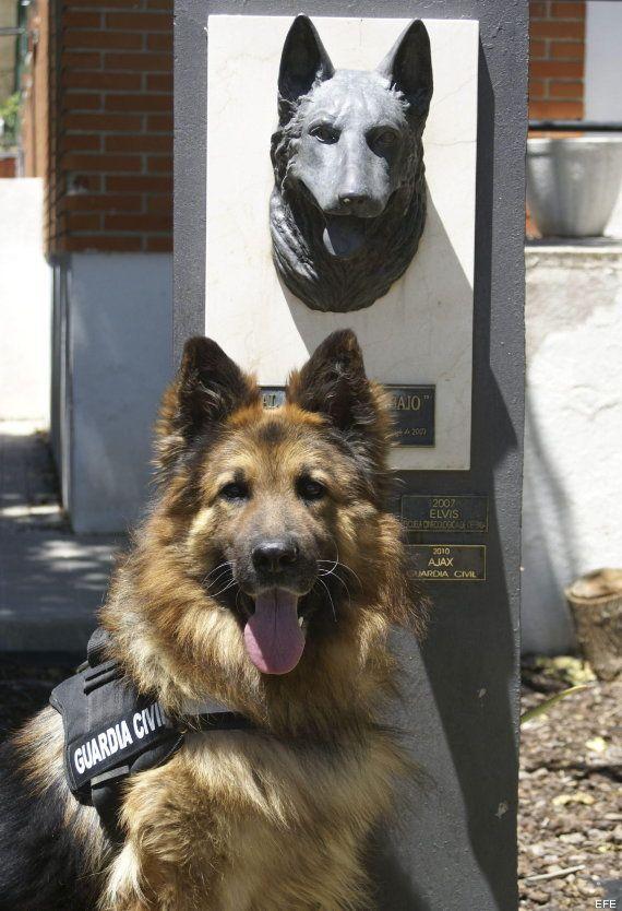 Ajax, el perro de la Guardia Civil condecorado por su valentía