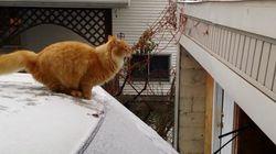 Gatos que no saben saltar, los más torpes de internet