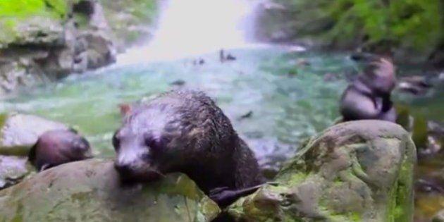 Este baño que se dan cientos de focas bebés en una cascada te dará ganas de ponerte a remojo