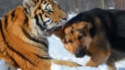 Tigres y perros, una insólita y entrañable familia