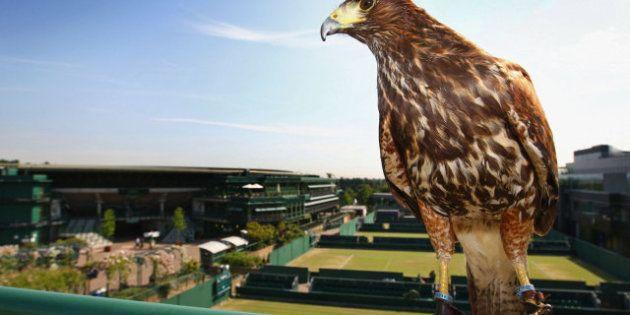 Roban a Rufus the Harris, el halcón de Wimbledon encargado de espantar