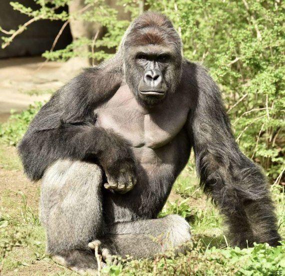 Matan a un gorila en el zoo de Cincinnati para salvar a un niño de cuatro