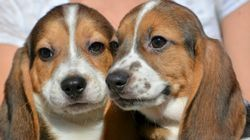 Nace en EEUU la primera camada de perros por fecundación in