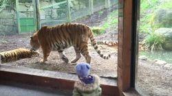 Nunca, nunca, NUNCA despiertes a un tigre