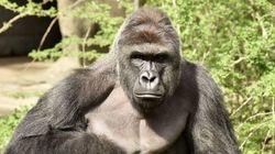 Investigan si la muerte de un gorila en un zoo de Cincinati violó la